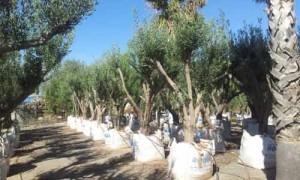 plantas de jardin oliveras ensacadas